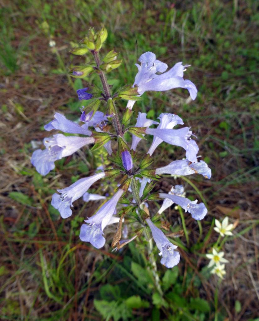 Lyreleaf sage, Salvia lyrata