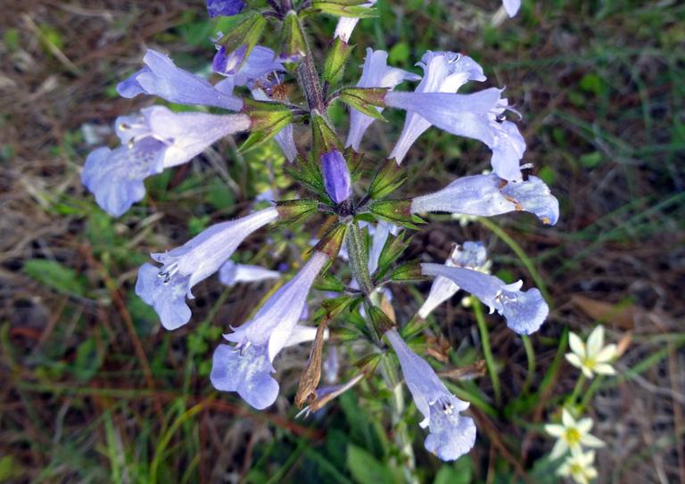 Lyreleaf sage (Salvia lyrata) by Eleanor Dietrich