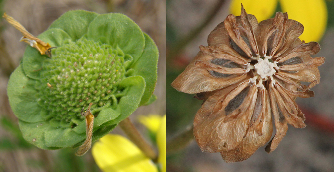 Two stages of Florida greeneyes' distinctive seedhead Photo by Stacey Matrazzo