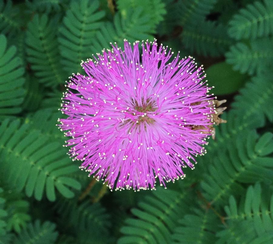 Mimosa strigillosa