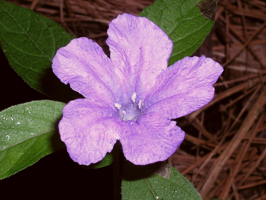 Wild petunia (Ruellia caroliniensis) by Jim Haley