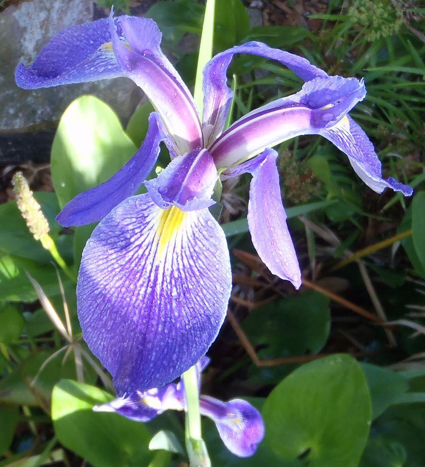 iris-roberts