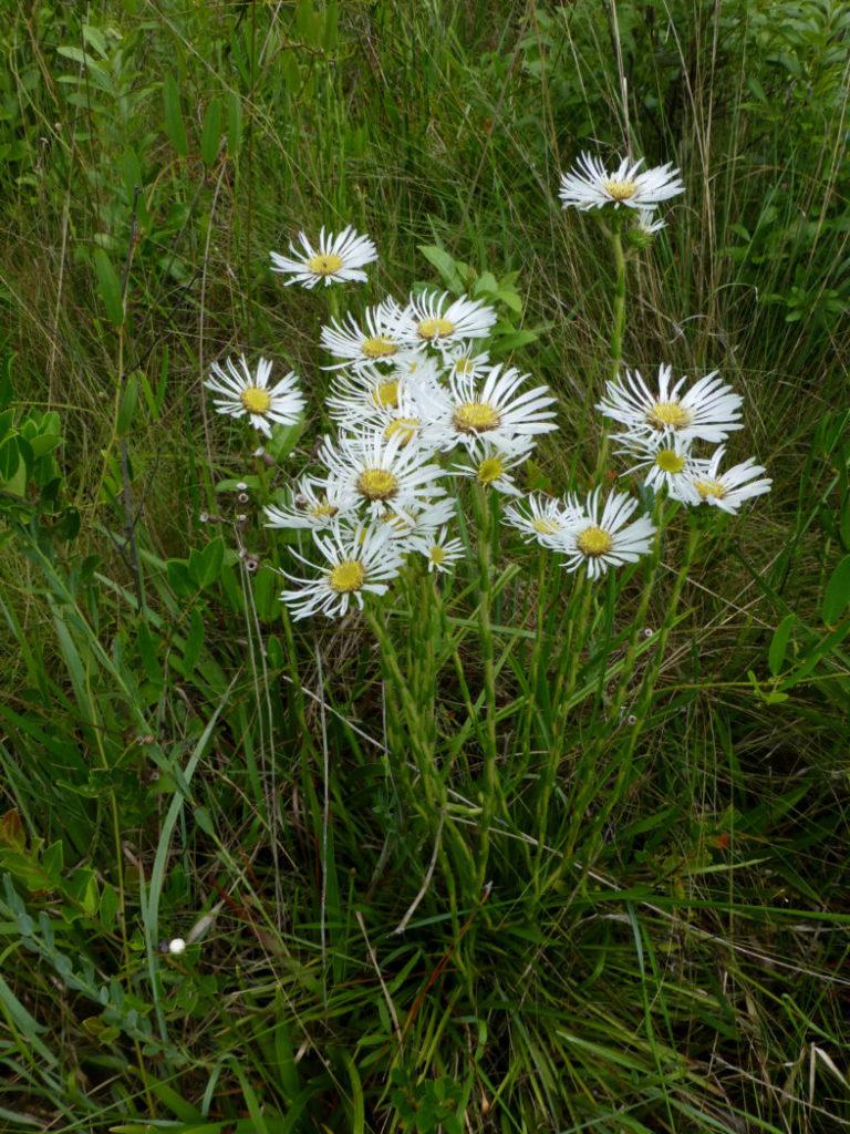 Thistleleaf aster flowers