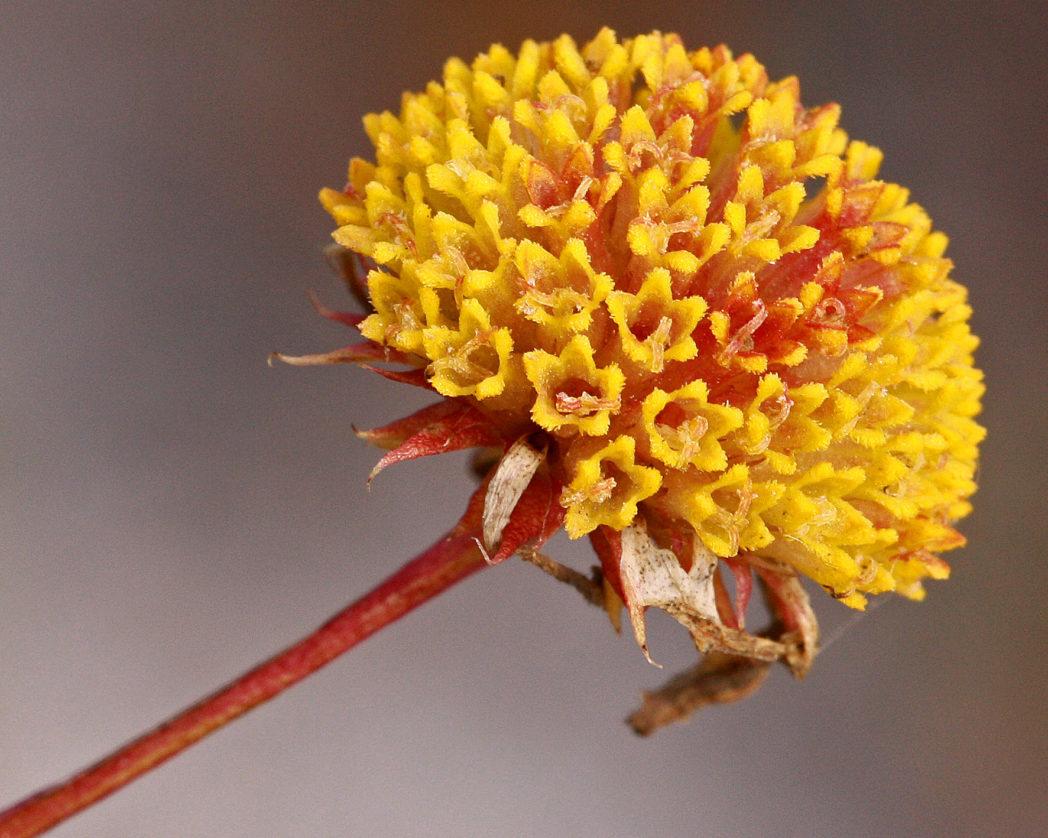 Coastalplain honeycombhead disk florets