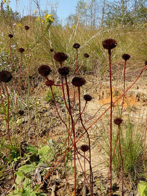 Rayless sunflowers (Helianthus radula) Photo by Eleanor Dietrich