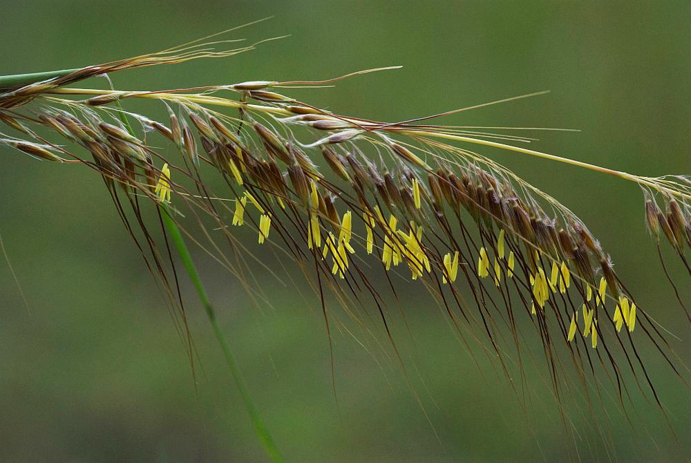 Lopsided indiangrass (Sorghastrum secundum) Photo by Katherine Edison