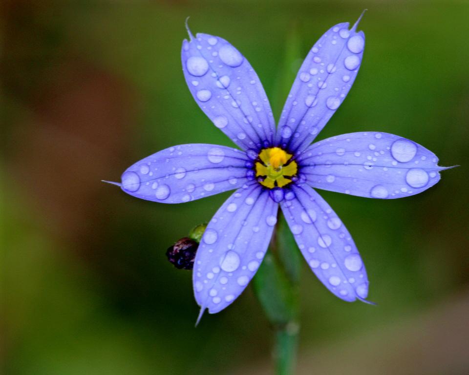 Blue-eyed grass bloom