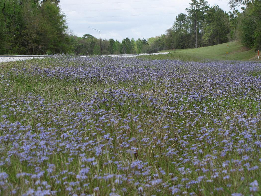 Field of Blue-eyed grass in bloom along roadside