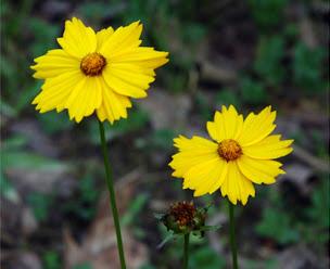 Coreopsis bakeri flowers