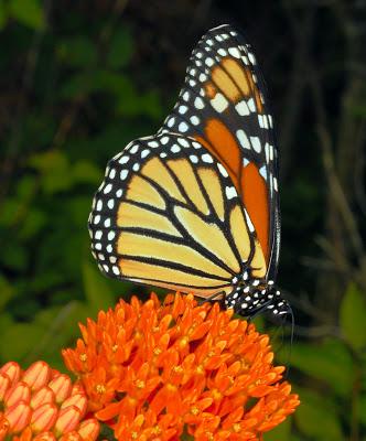 A monarch nectars on native milkweed. Photo/Jaret Daniels