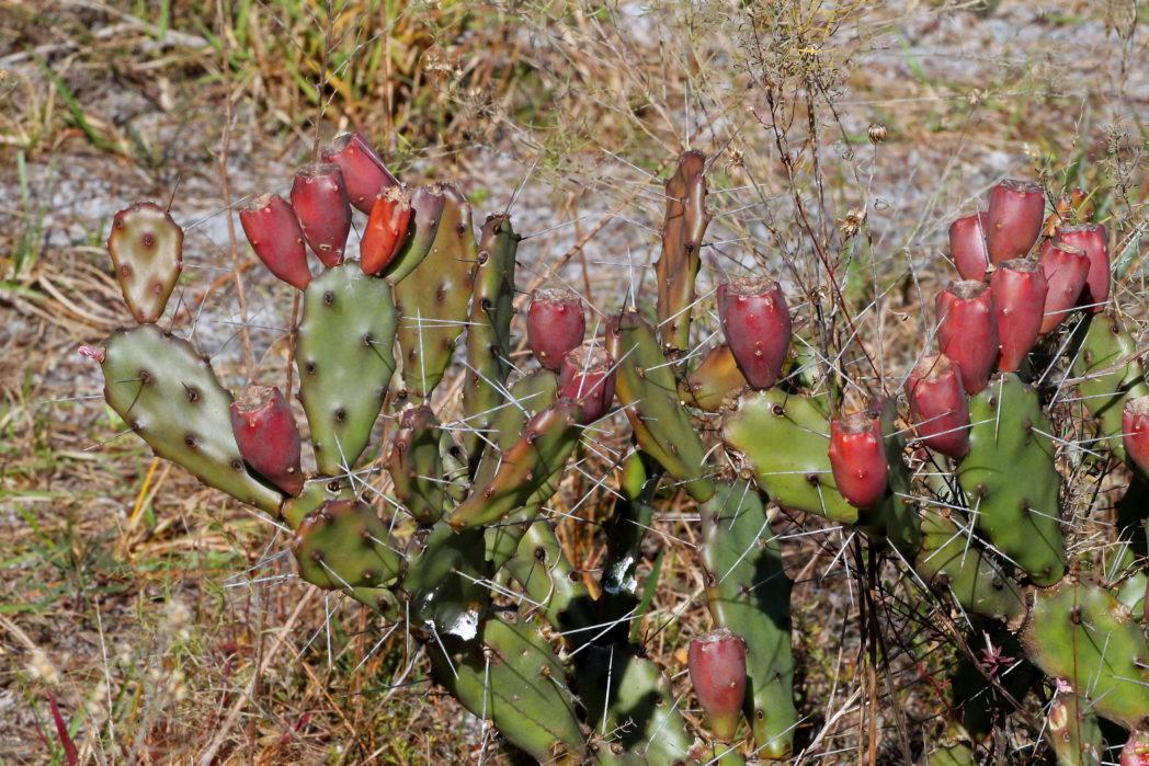 Mature pricklypear cactus fruits