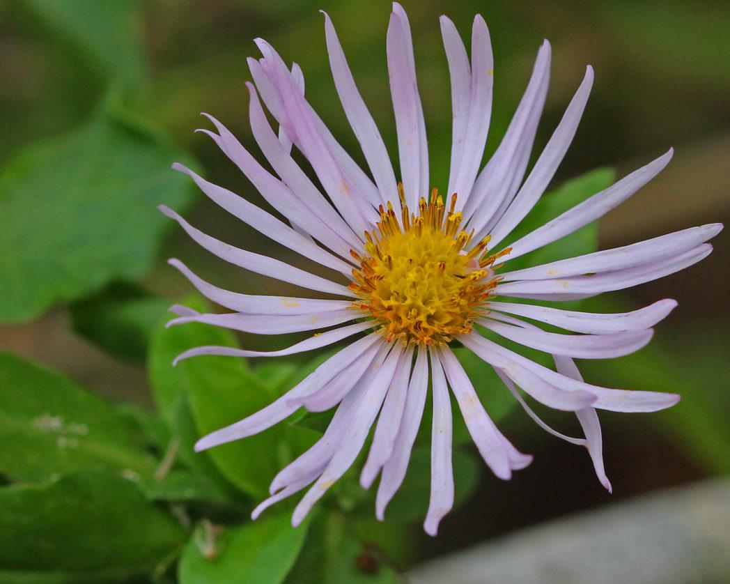 Climbing aster flower
