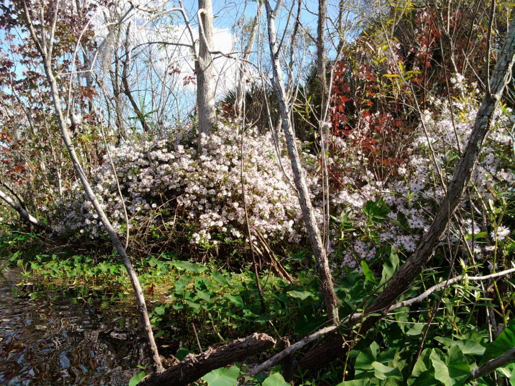 Climbing aster flowers