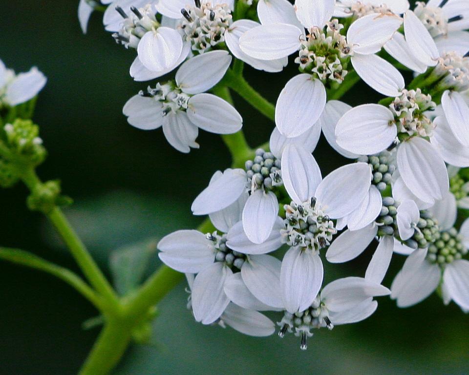 Frostweed flowers