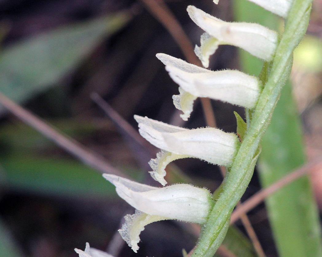 Fragrant ladies'-tresses flowers and stem
