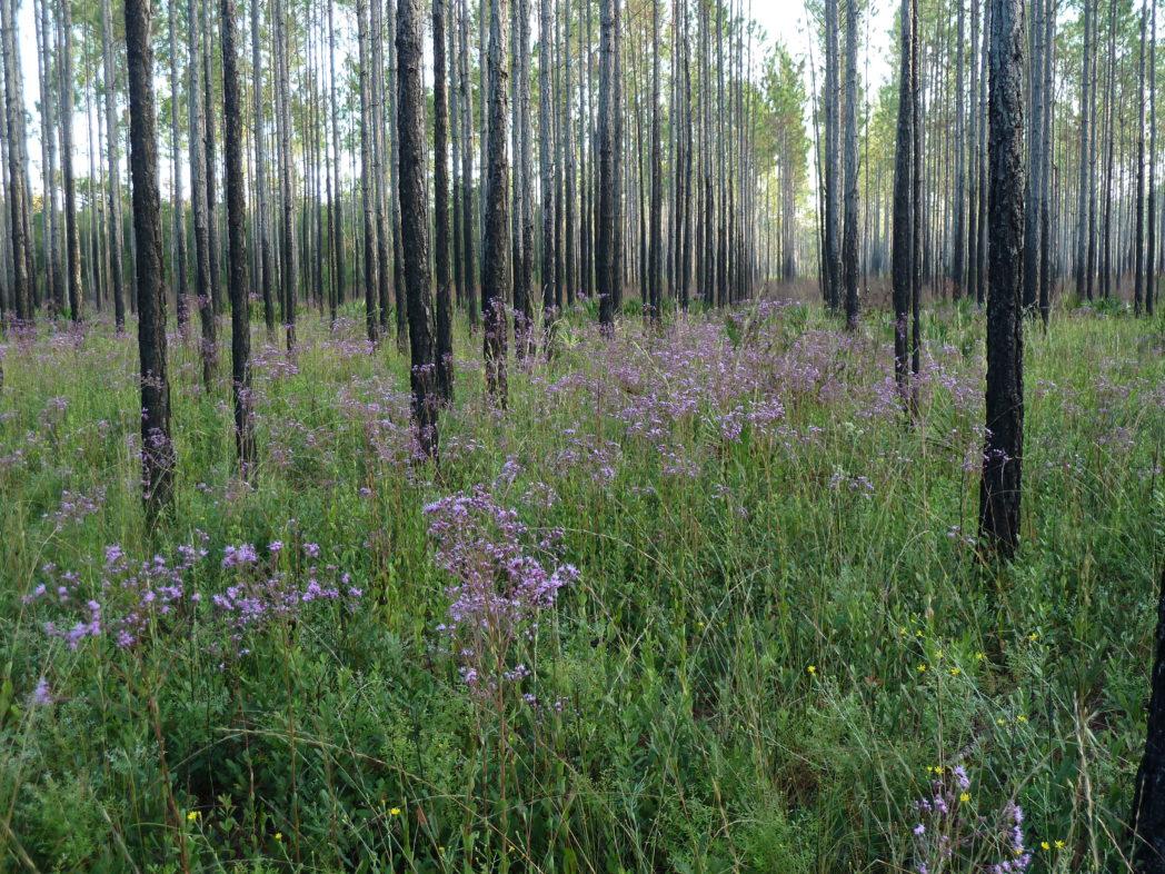 Vanillaleaf blooming in pine flatwoods