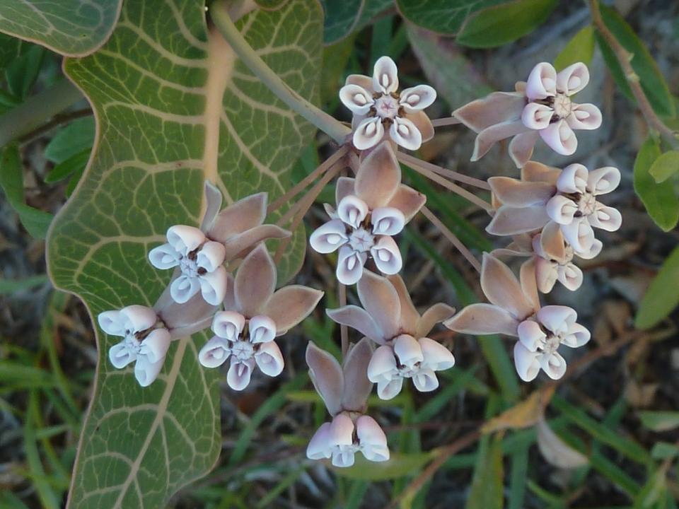 Pinewoods milkweed flower