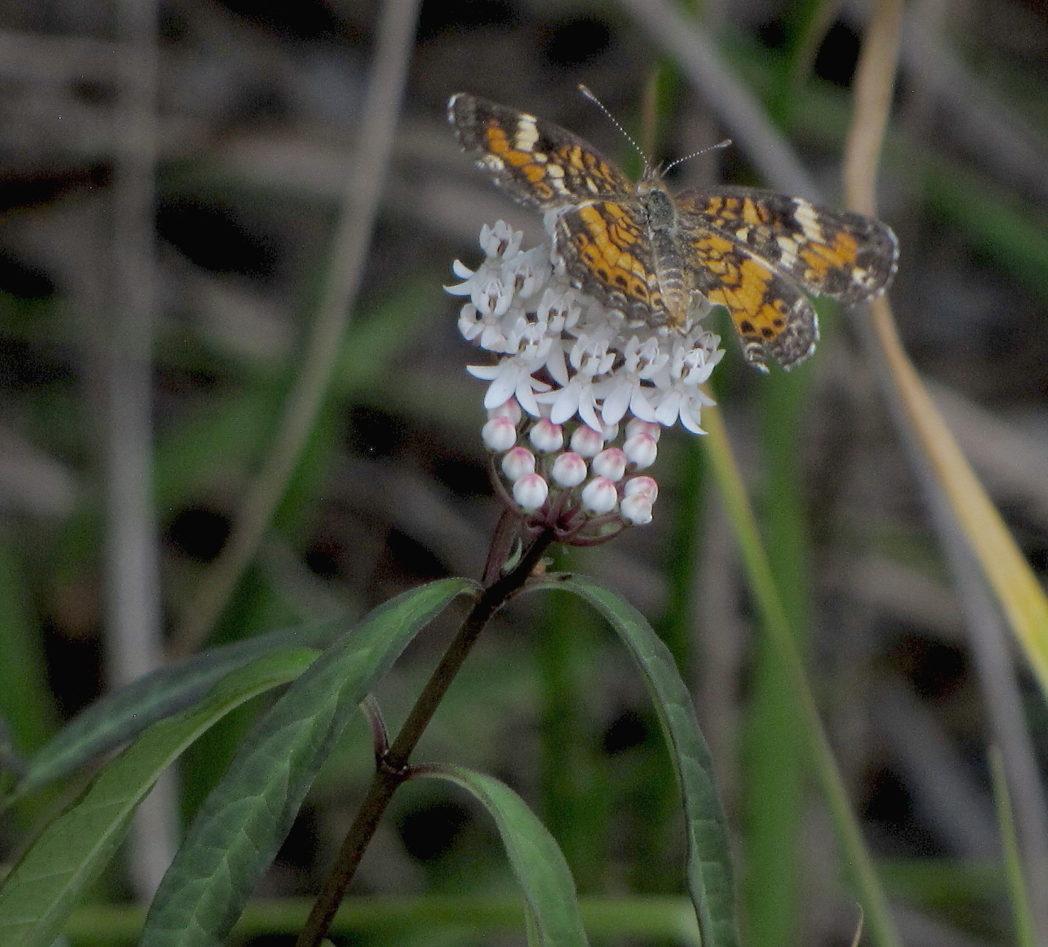 Phaon crescent on Swamp milkweed flower