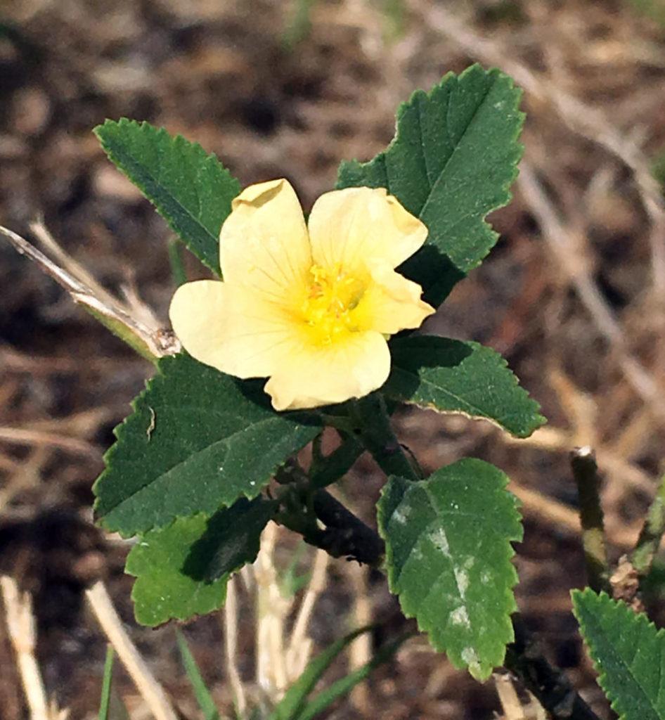 Common fan petals flower