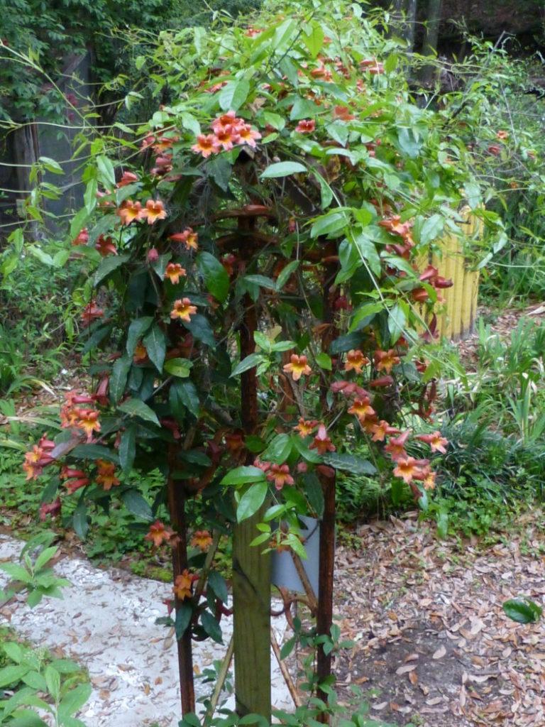 Flowering crossvine on trellis