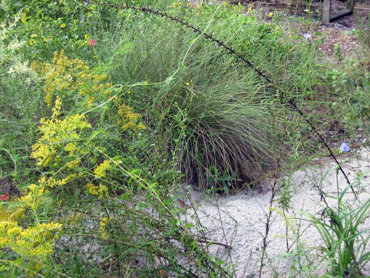 Gopher tortoise burrow among wildflowers