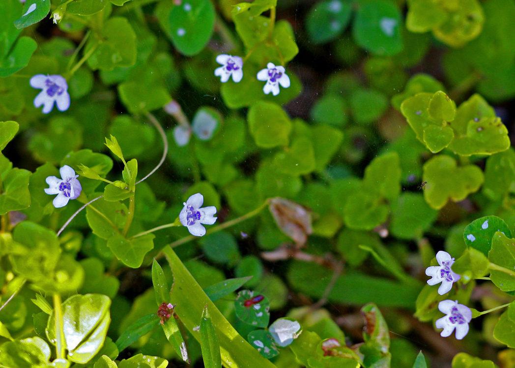 Browne's savory, Clinopodium brownei
