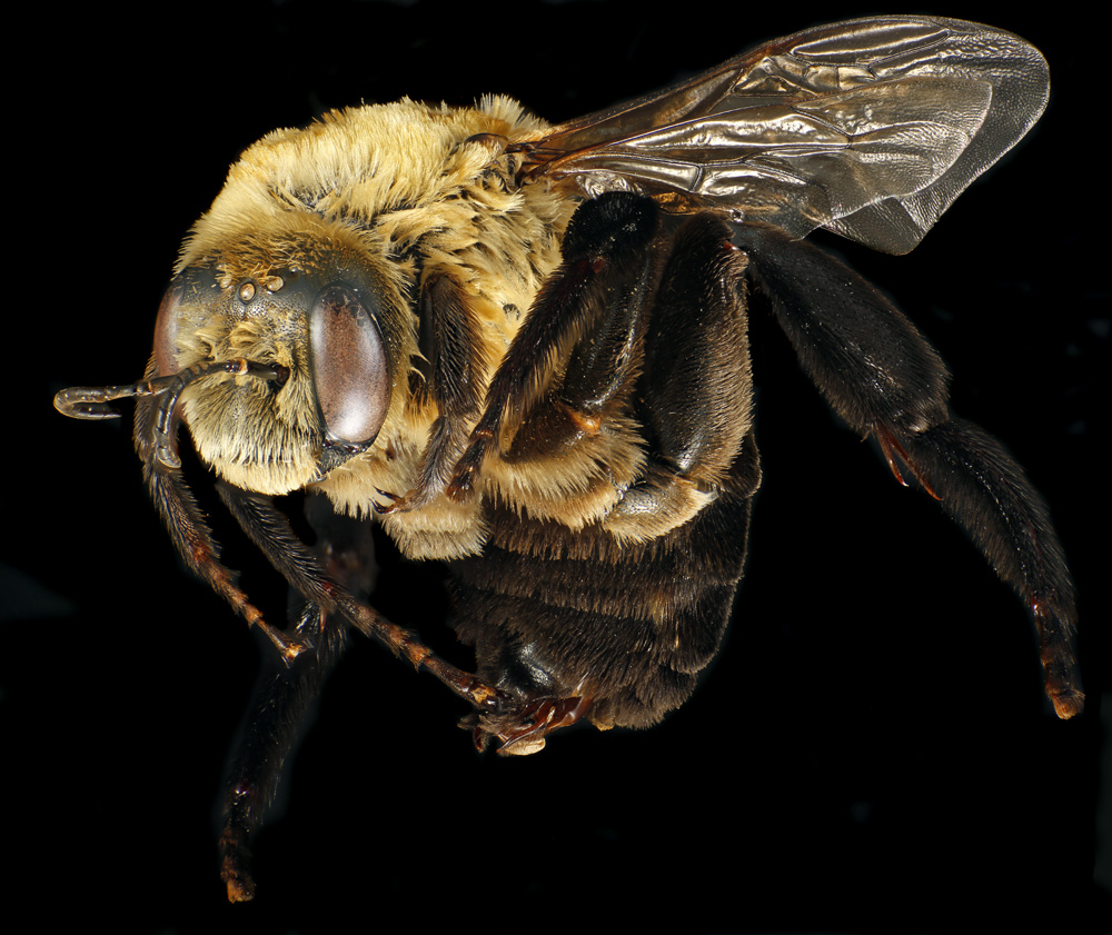 Hibiscus bee (Ptilothrix bombiformis) by Jonathan Bremer