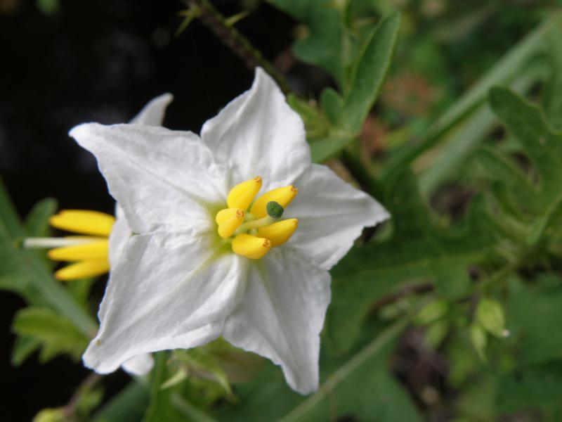 Carolina horsenettle (Solanum carolinense) by Stacey Matrazzo
