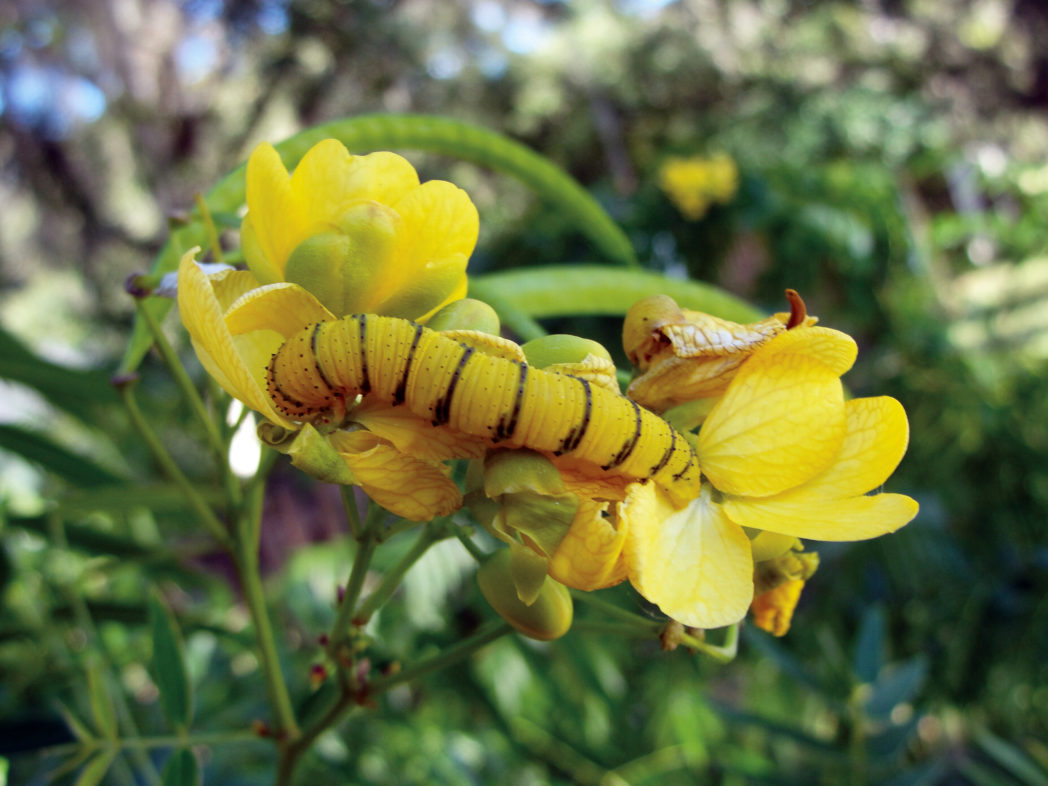 Cloudless sulphur caterpillar on Senna