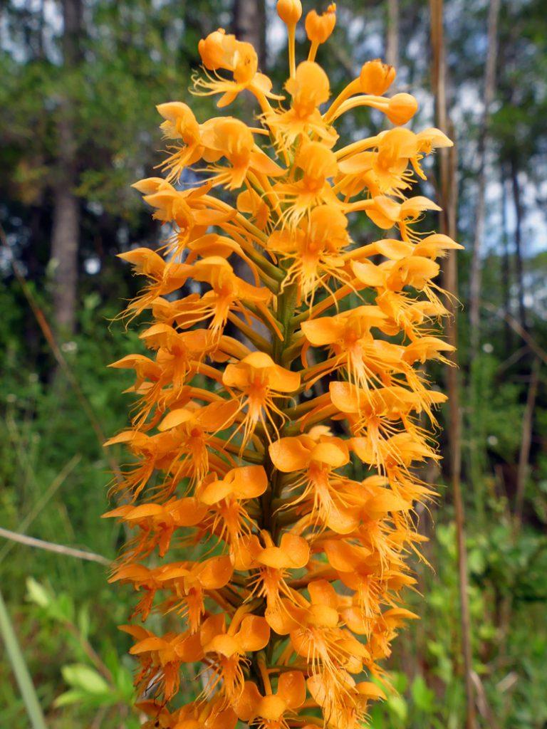 Chapman's fringed orchid (Platanthera chapmanii) by Stacey Matrazzo
