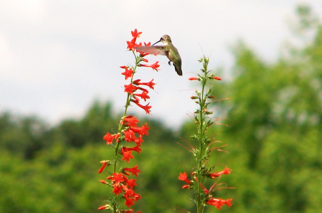 Hummingbird on Standing cypress, Ipomopsis rubra