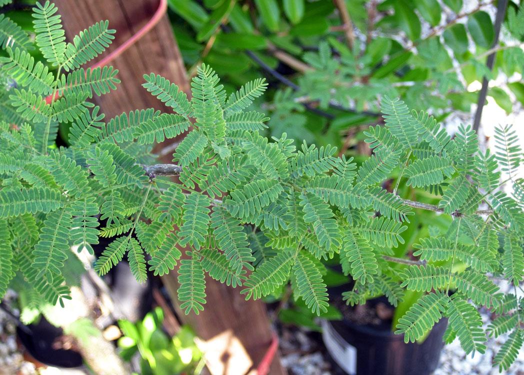 Sweet acacia's fernlike leaves