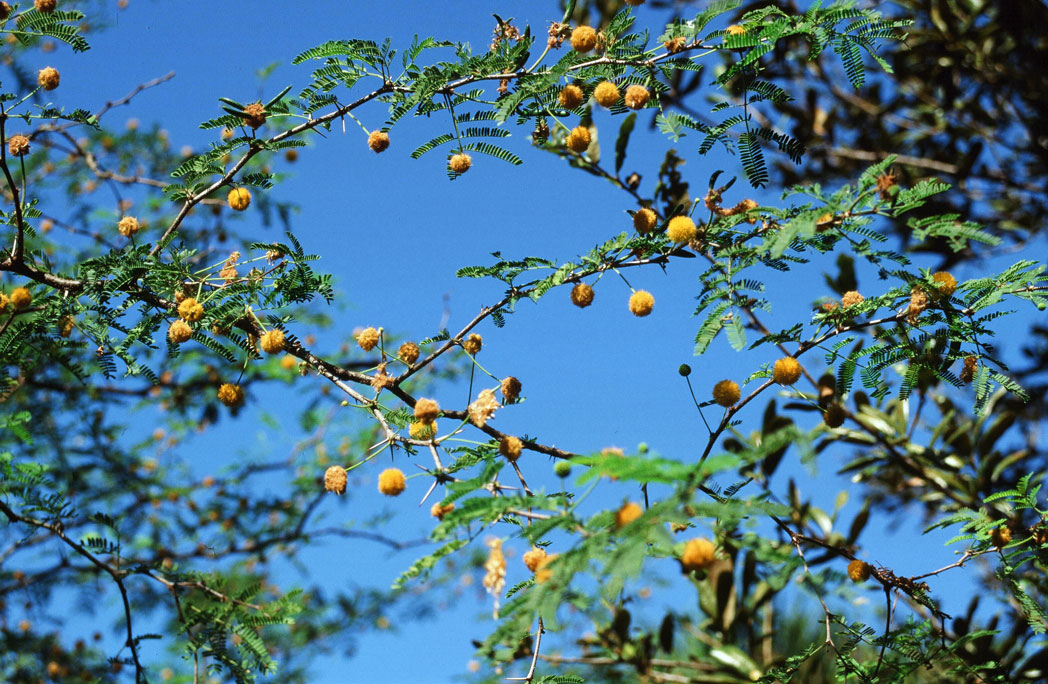 Sweet acacia's many blooms and fernlike leaves